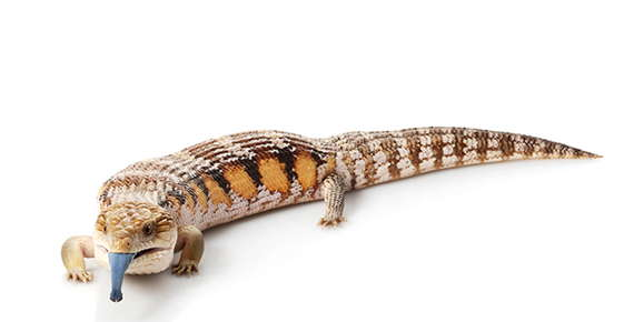 Image of a blue toungued skink.