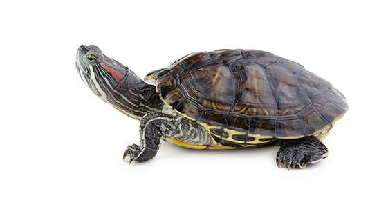 Image of a red eared slider turtle.