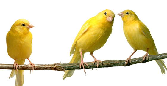 Image of canaries.