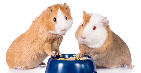 Image of two guinea pigs.