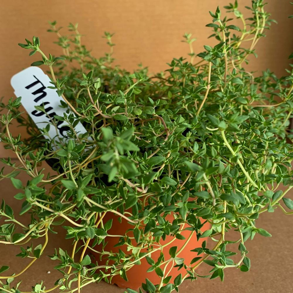 thyme plant in pot