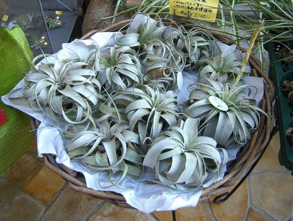 basket of tillandsias for sale