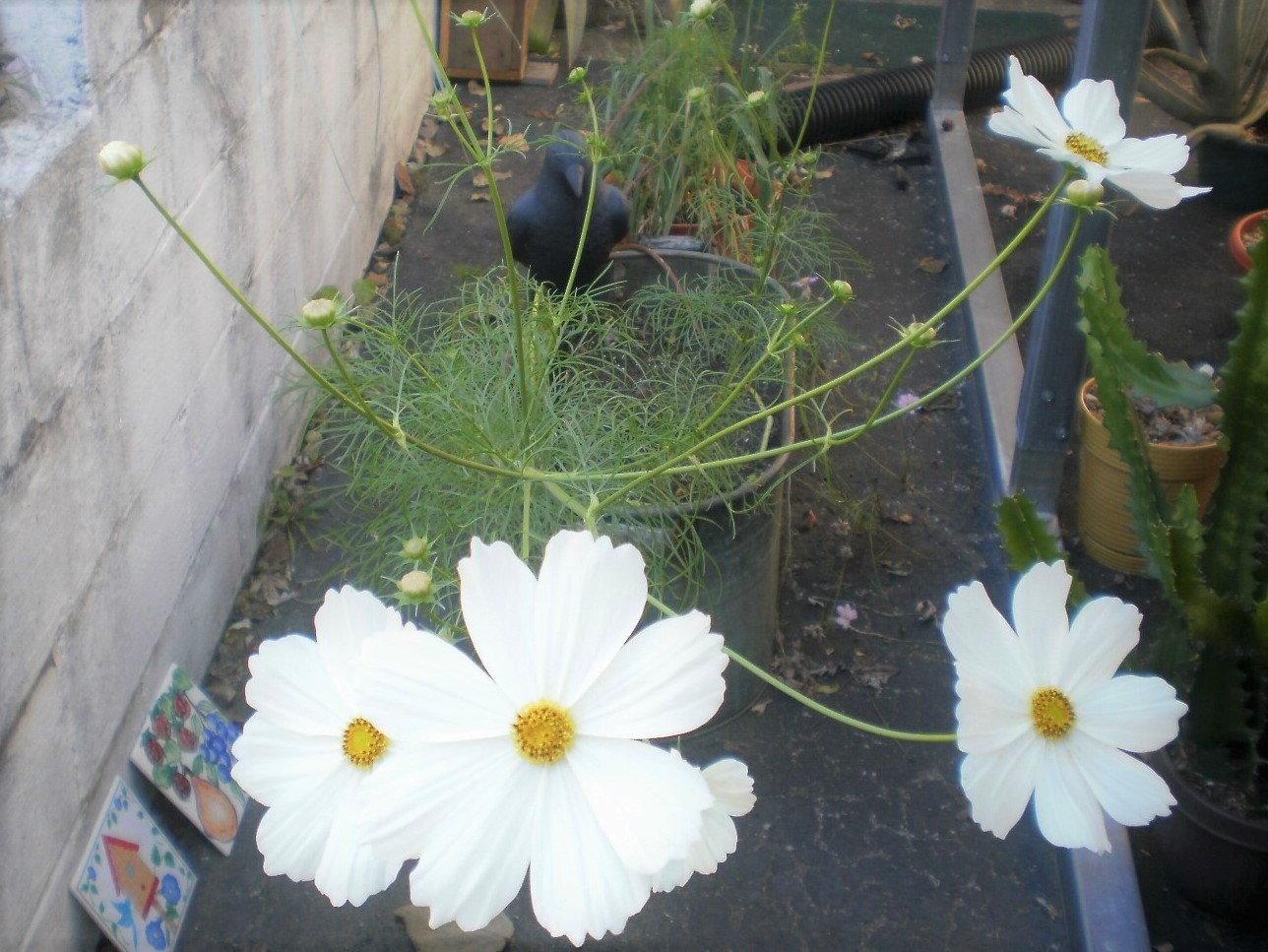 white cosmos blossoms