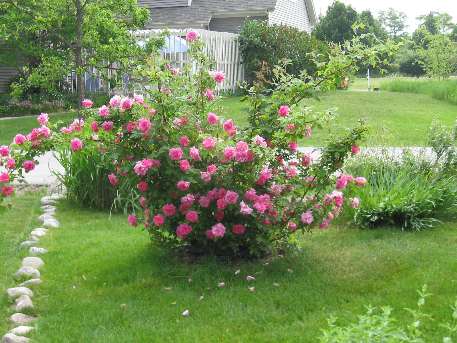 Zephirine Drouhin Climbing Rose familiar but unfamiliar: the bourbon rose - dave's garden