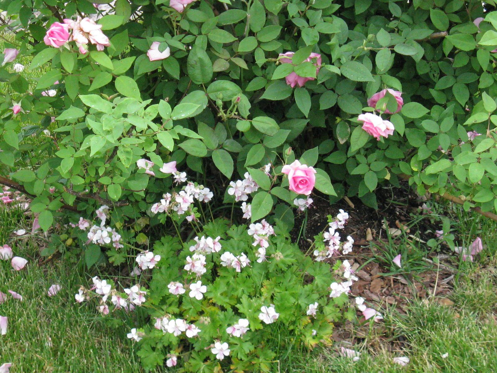 Geranium biokovo with rose Zephirine Drouhin