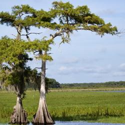grown cypress trees