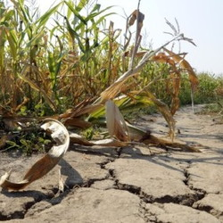 Dry cracked soil next to browning corn plants