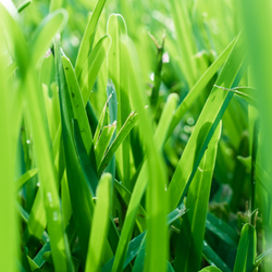 Grass Blades Close Up