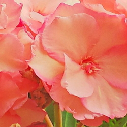 Peach Oleander Flowers