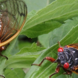 two cicadas on a leaf