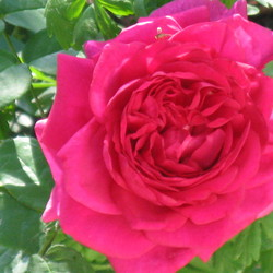 The Dark Lady Rose