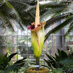 Blooming corpse flower in a botanical garden's atrium