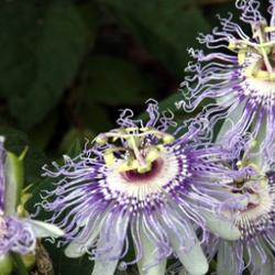 beautiful passionflower blooms among foliage.