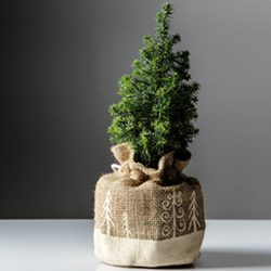 Small fir tree in a beige sack