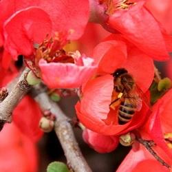 Flowering quince with honeybee
