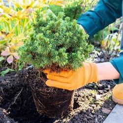 transplanting an evergreen shrub