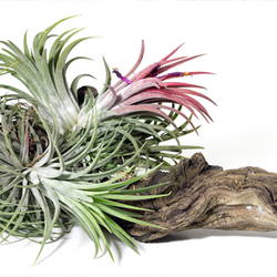 Green and Pink Air Plant Growing in Petrified Wood