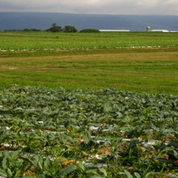 People glean fields after harvest
