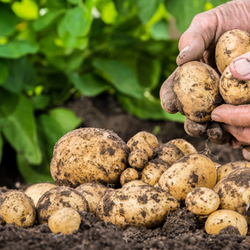 Hand Sorting Potatoes with Green Leaves in Background