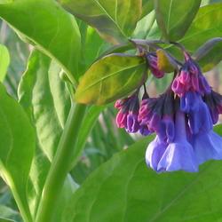 Virginia bluebells blossoms
