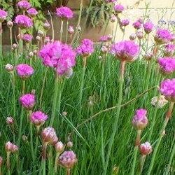 Daves garden articles by todd boland sea pinks a coastal beauty mightylinksfo