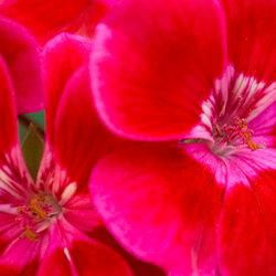 Red pelargoniums