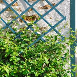 Green vines climbing up a trellis