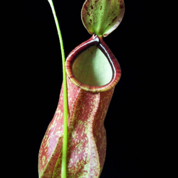 Nepenthes x coccinea, Hybrid Pitcher Plant
