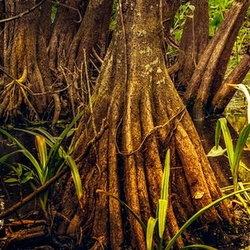 Mangroves growing in a coastal swamp