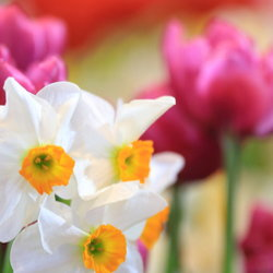 White and Pink Bulbs