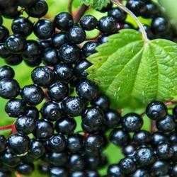 Elderberries on Branch