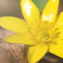 Yellow Fig Buttercup Flower