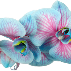 Blue and Pink Dyed Flower