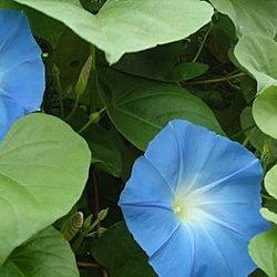 Heavenly Blue morning glory in bloom