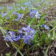 Many alpine squill blooming in the forest