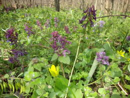 Red dead-nettle, fumewort and lesser celandine blooming in the forest