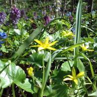 Lesser celandine and fumewort blooms