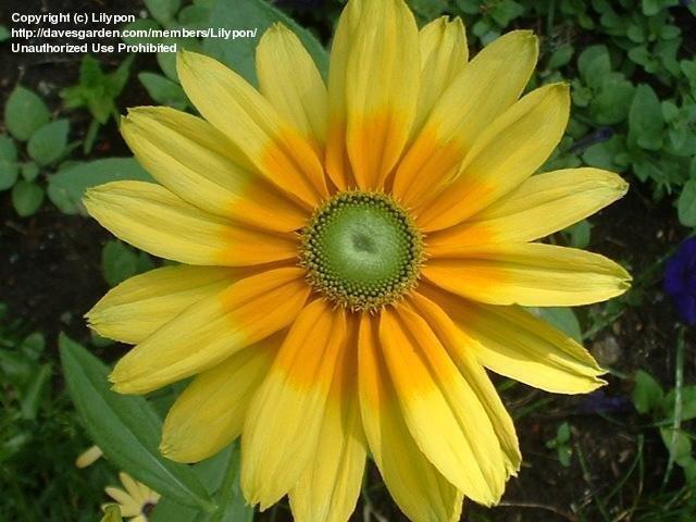 large yellow daisy