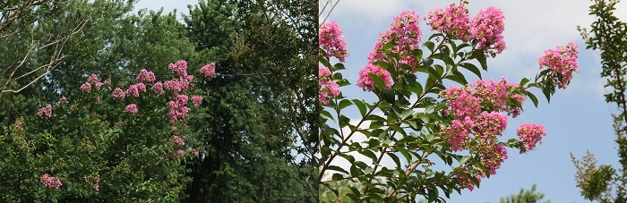 composition examples of pink crape myrtles