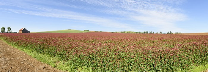 crimson clover, a common cover crop