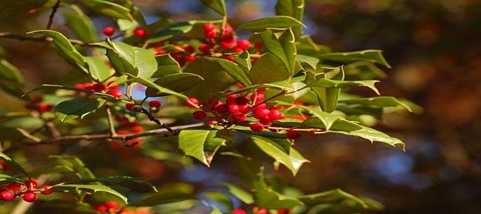 Christmas Holly Tree.Ilex Opaca The American Holly Tree Dave S Garden