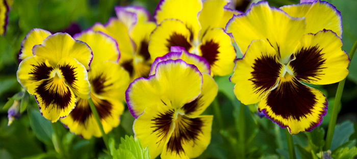 Pansy 'Fizzy Fruit Salad'