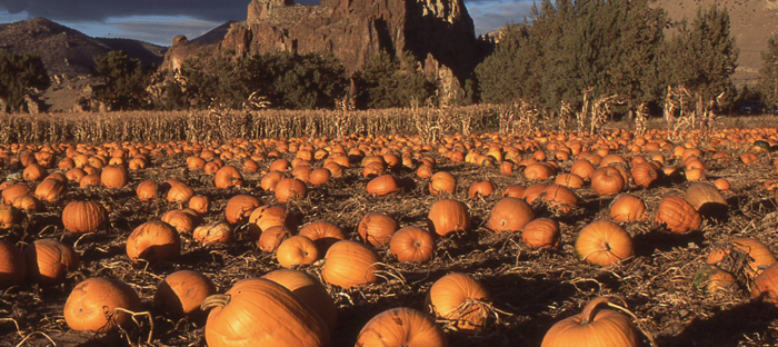 Field of Pumpkins with Mountains on the Horizon
