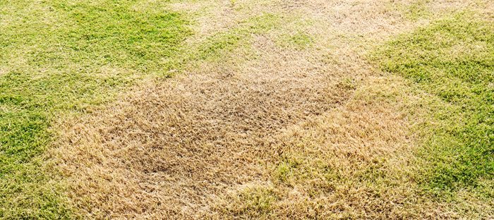 Green Grass with Large Brown Patch