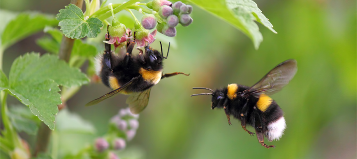 Two Bumblebees on a Flowering Plant