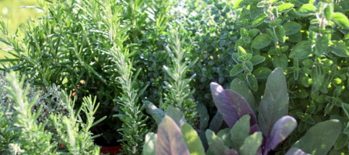 Planted herbs in a garden.
