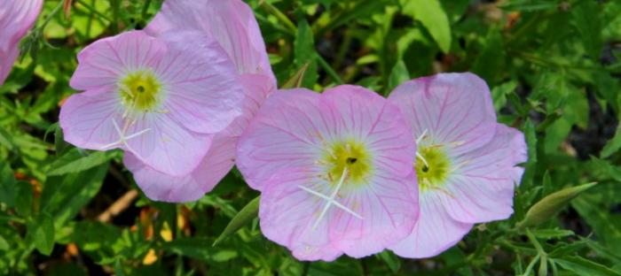 Wildflowers in your gardens oenethera speciosa the pink missouri add to bookmarks mightylinksfo