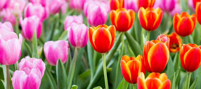 Orange and pink tulip bulbs