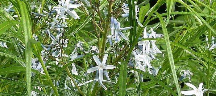 Bluestars easy to grow perennials daves garden are clump forming herbaceous perennials about 22 species exist according to some experts and many of them have potential for garden use mightylinksfo
