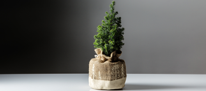 Small fir tree in a beige sack